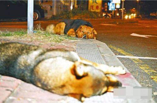Xúc động chú chó nằm 10 tiếng trông thi thể đồng loại bị xe tông - Ảnh 1