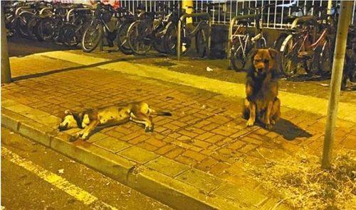 Xúc động chú chó nằm 10 tiếng trông thi thể đồng loại bị xe tông - Ảnh 2