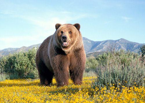 Coi chừng liệt dương, ung thư gan khi dùng mật gấu - Ảnh 1