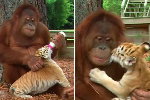 Video đười ươi cho hổ con bú khiến người xem thích thú - Ảnh 1