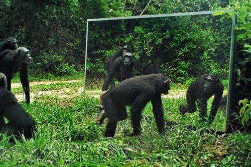 Thú vị với phản ứng của thú rừng trước ảnh của chúng trong gương - Ảnh 1