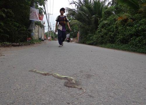 Hoang mang vì rắn lục đuôi đỏ xuất hiện và cắn người ngày càng nhiều - Ảnh 1