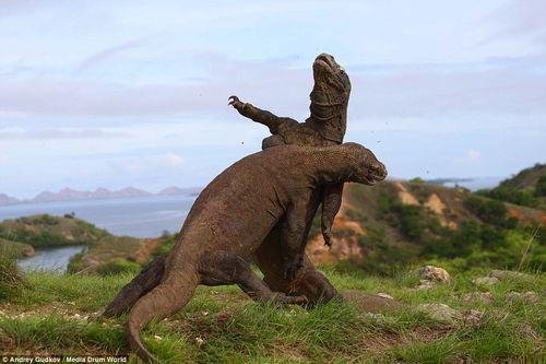 """2 con rồng Komodo ác đấu như  """"Cuộc chiến khủng long"""" - Ảnh 5"""