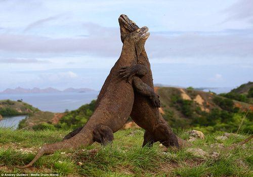 """2 con rồng Komodo ác đấu như  """"Cuộc chiến khủng long"""" - Ảnh 1"""