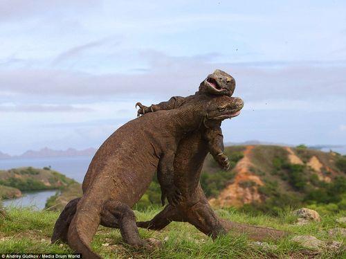 """2 con rồng Komodo ác đấu như  """"Cuộc chiến khủng long"""" - Ảnh 3"""