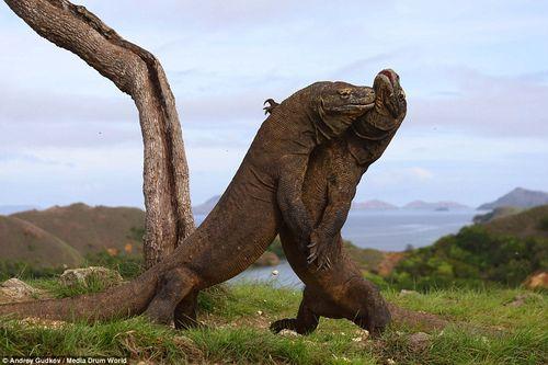 """2 con rồng Komodo ác đấu như  """"Cuộc chiến khủng long"""" - Ảnh 2"""