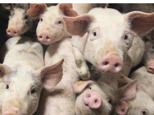 Lật xe tải, cảnh sát giúp tài xế bắt 2.000 con lợn chạy toán loạn - Ảnh 1