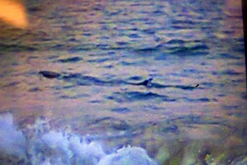 Truy tìm nguồn gốc loài cá lạ ở Phú Yên khiến dân biển hoang mang - Ảnh 1