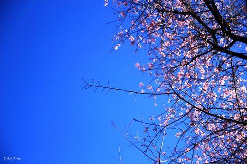 Say đắm mùa mai anh đào nở muộn tại Đà Lạt - Ảnh 1