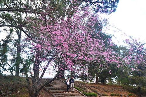 Say đắm mùa mai anh đào nở muộn tại Đà Lạt - Ảnh 4