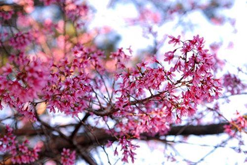 Say đắm mùa mai anh đào nở muộn tại Đà Lạt - Ảnh 5