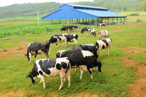 Đại gia ngành sữa với trang trại bò trải khắp Việt Nam - Ảnh 2