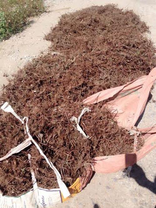 Nghệ An: Dân đổ xô đi đào cây thuốc hương phụ bán cho Trung Quốc  - Ảnh 2