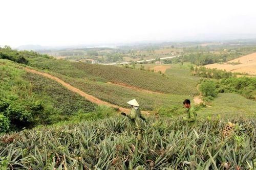 """Nghệ An: Dự án 10.000ha dứa """"chết yểu"""", nông dân lao đao - Ảnh 1"""