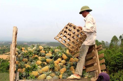"""Nghệ An: Dự án 10.000ha dứa """"chết yểu"""", nông dân lao đao - Ảnh 3"""