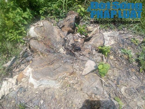 Rừng săng lẻ bị đào, chặt: Chủ rừng mang về cơ quan làm cảnh - Ảnh 2
