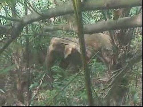 Voi rừng xuất hiện: Chưa có phương án xử lý và bảo tồn - Ảnh 1
