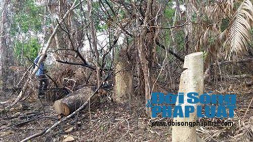 Rừng phòng hộ bị phá tan hoang, Ban quản lý ở gần không biết - Ảnh 3
