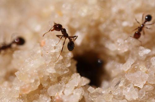 Siêu vật liệu sẽ được làm ra bởi kiến lửa - Ảnh 2