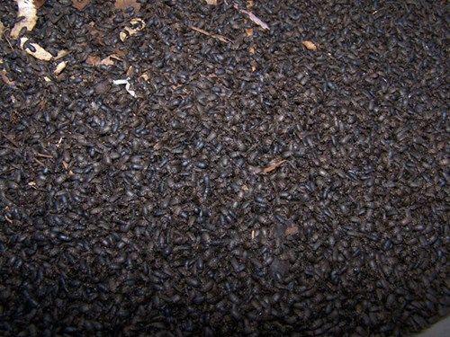 500 hộ dân tỉnh Kon Tum phải sống chung với bọ đen cánh cứng - Ảnh 1