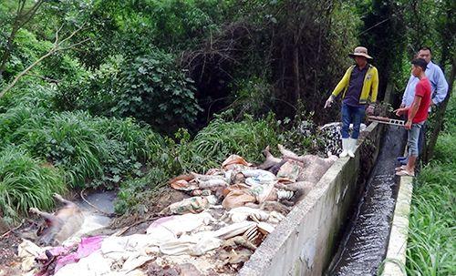 Hàng trăm xác heo thối vứt ra thượng nguồn sông Sài Gòn - Ảnh 1