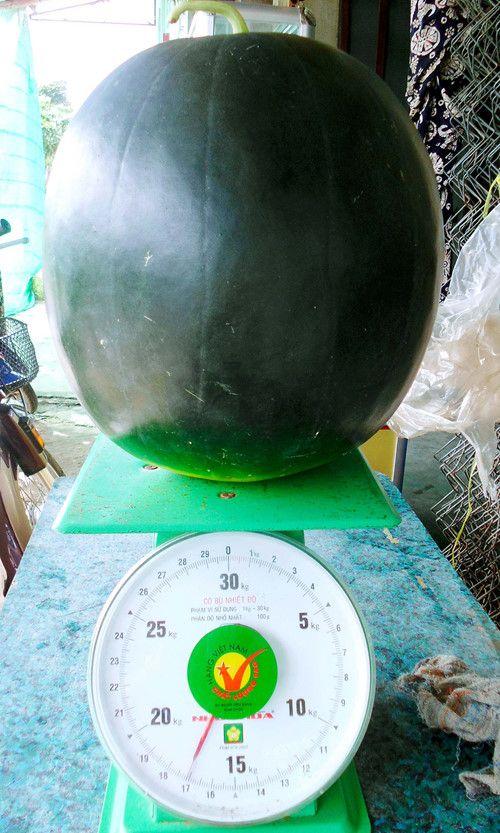 """Xuất hiện dưa hấu """"khủng"""" nặng 17,1kg tại Bạc Liêu - Ảnh 2"""