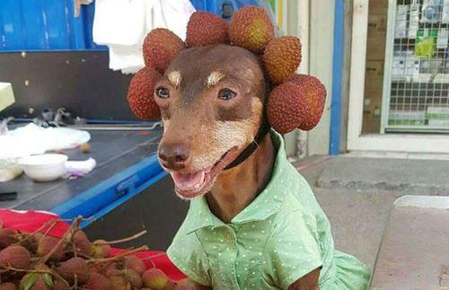 Hình ảnh lạ lẫm của chú chó bán trái cây khiến cư dân mạng thích thú - Ảnh 3
