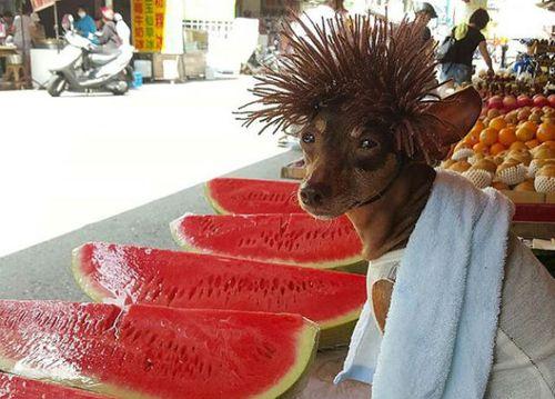 Hình ảnh lạ lẫm của chú chó bán trái cây khiến cư dân mạng thích thú - Ảnh 4