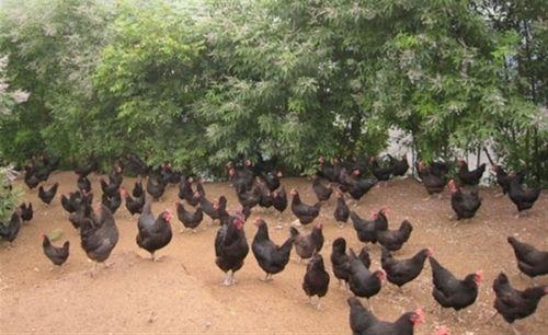 Giật mình trứng gà xanh siêu lạ, mỗi ngày bán 10.000 quả - Ảnh 2
