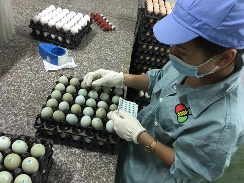 Giật mình trứng gà xanh siêu lạ, mỗi ngày bán 10.000 quả - Ảnh 5