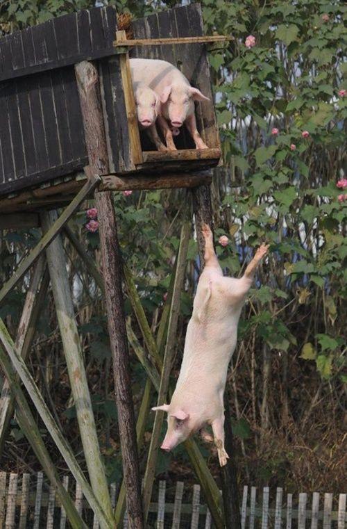 """Biến lợn bình thường thành lợn """"bay"""" để thu hút khách du lịch, bán với giá cao - Ảnh 2"""