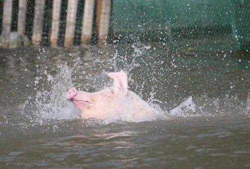 """Biến lợn bình thường thành lợn """"bay"""" để thu hút khách du lịch, bán với giá cao - Ảnh 5"""