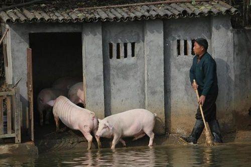 """Biến lợn bình thường thành lợn """"bay"""" để thu hút khách du lịch, bán với giá cao - Ảnh 6"""