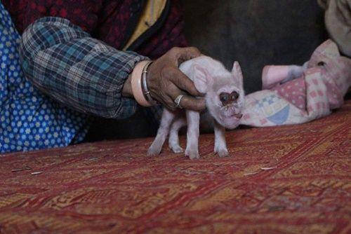 Hàng ngàn người đổ xô đi xem lợn mới sinh có mặt khỉ - Ảnh 2