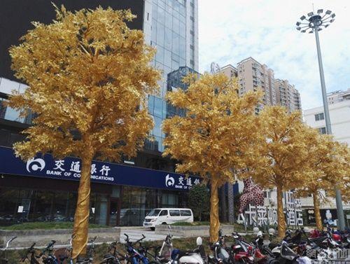 """""""Hoa mắt"""" ngắm hàng loạt """"cây vàng"""" được trồng trước cửa ngân hàng  - Ảnh 1"""