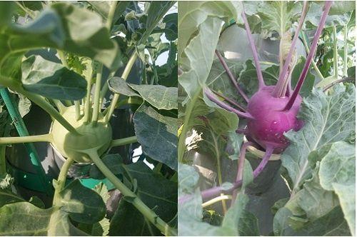 Ông bố Sài thành trồng rau sạch kiểu mới - vừa nhiều mà chẳng tốn diện tích - Ảnh 8