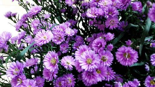 Những loài hoa 'gọi' mùa thu về - Ảnh 7
