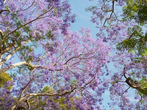 Ngắm hoa phượng tím đẹp nao lòng ở thành phố Sydney - Ảnh 4