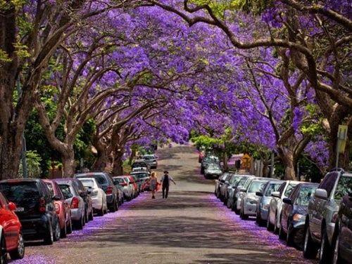 Ngắm hoa phượng tím đẹp nao lòng ở thành phố Sydney - Ảnh 5