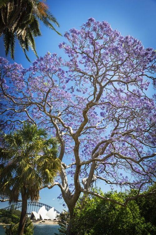 Ngắm hoa phượng tím đẹp nao lòng ở thành phố Sydney - Ảnh 7