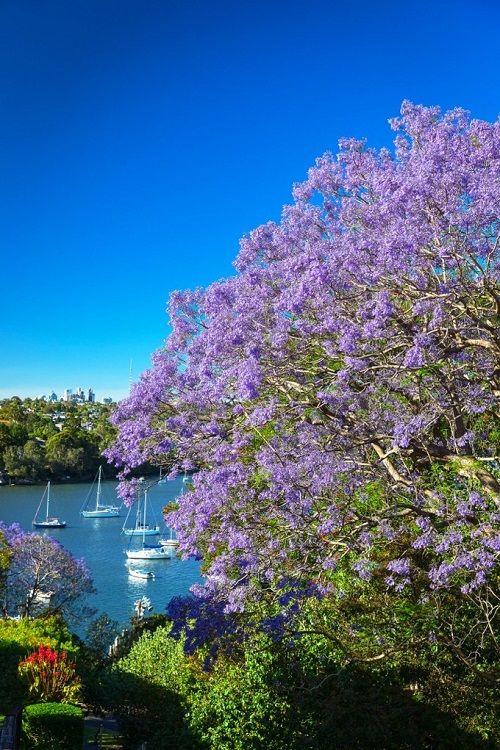 Ngắm hoa phượng tím đẹp nao lòng ở thành phố Sydney - Ảnh 6
