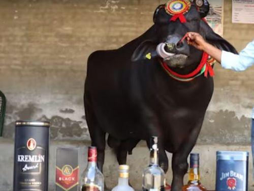 Con bò thích uống rượu whisky có giá bán gần trăm tỷ - Ảnh 3