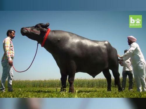 Con bò thích uống rượu whisky có giá bán gần trăm tỷ - Ảnh 1
