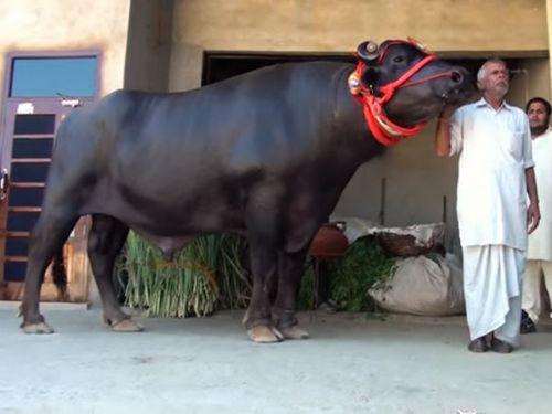 Con bò thích uống rượu whisky có giá bán gần trăm tỷ - Ảnh 2