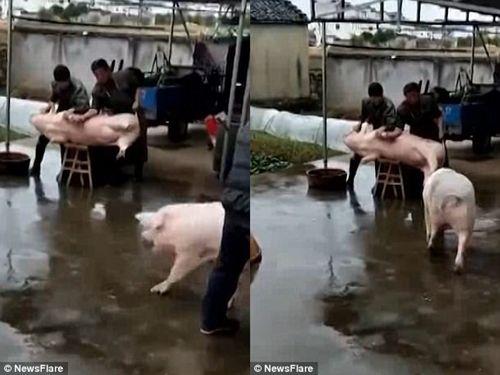 """Chú lợn xông đến dọa đồ tể, """"giải cứu"""" đồng bọn sắp bị giết thịt - Ảnh 1"""