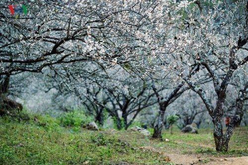Khách du lịch đổ xô tới Mộc Châu ngắm hoa mơ, hoa mận nở - Ảnh 4