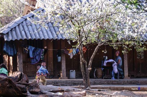 Khách du lịch đổ xô tới Mộc Châu ngắm hoa mơ, hoa mận nở - Ảnh 5