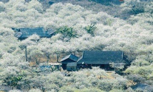 Khách du lịch đổ xô tới Mộc Châu ngắm hoa mơ, hoa mận nở - Ảnh 9