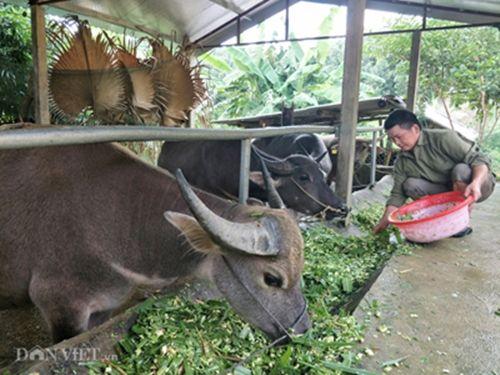 Cận cảnh giống trâu ngố khổng lồ nhất Việt Nam, đặc sản làm giàu của xứ Tuyên - Ảnh 2