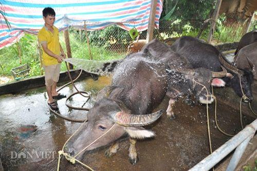 Cận cảnh giống trâu ngố khổng lồ nhất Việt Nam, đặc sản làm giàu của xứ Tuyên - Ảnh 3